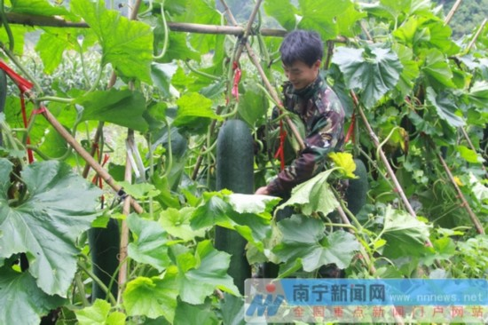 马山县东良村:合作社牵头农业产业 推进脱贫攻坚