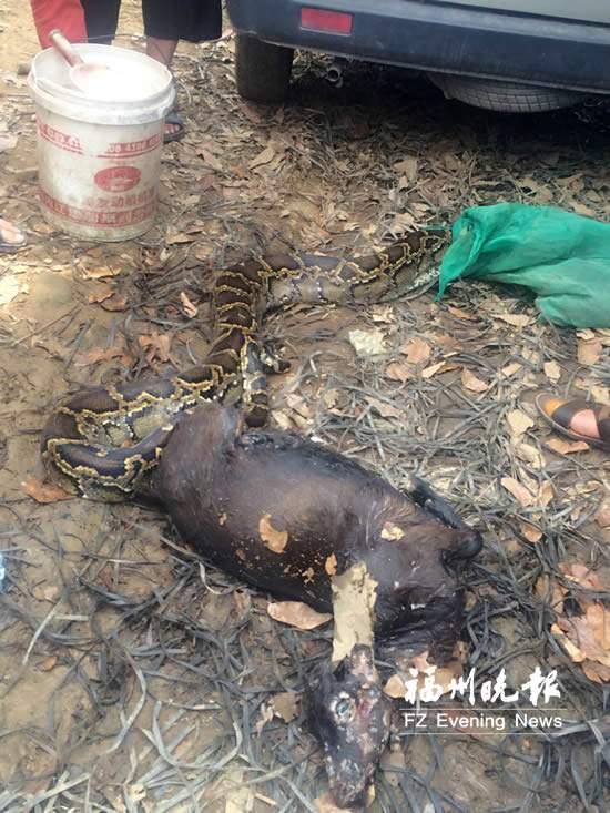 4米长巨蟒吞下11公斤重山羊 被放生到石竹山(图)