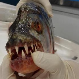 重庆截获6条冰冻怪鱼:牙尖齿长 盘点全球各种怪鱼(组图)