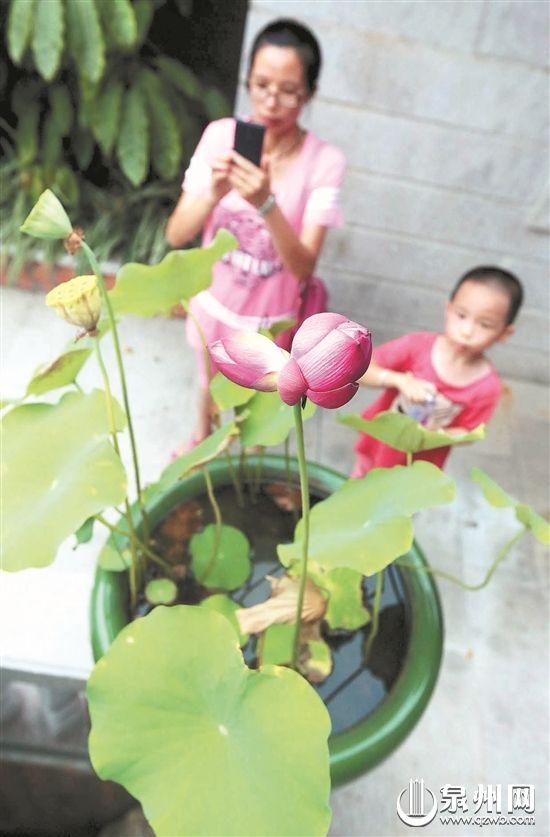 泉州东湖公园再现并蒂莲 这株是盆栽的概率更低