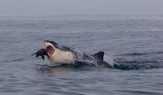 摄影师拍到海豹鲨口逃生瞬间 画面惊险惹人揪心(图)