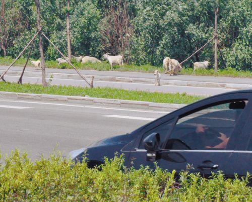 沈阳四环路牛羊群路边扎堆