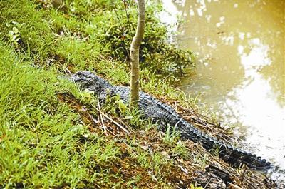 """芜湖""""乘水逃逸""""鳄鱼逮回10条 余下鳄鱼转入安全地带"""