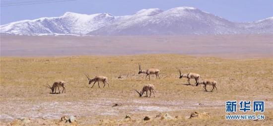青藏铁路边的野生藏羚羊