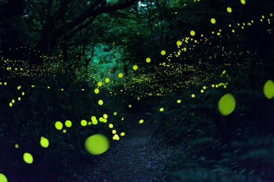 日本夏夜螢火虫聚集 森林變成超現實舞台