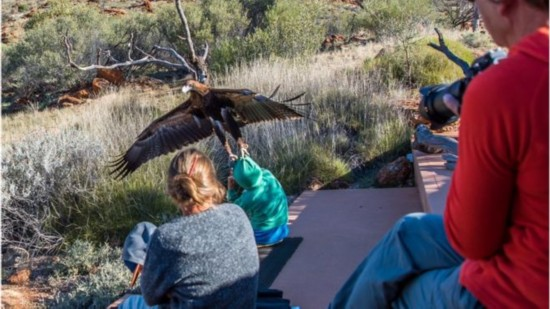 澳大利亚猎鹰袭击男童 试图将其抓走