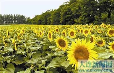 盛开的向日葵装扮乡村