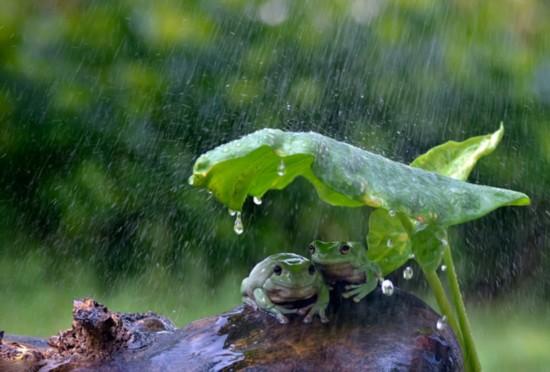 聪明!印尼两青蛙拿树叶当雨伞避雨(图)