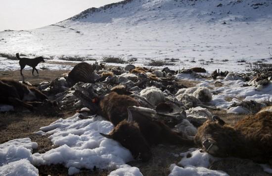 凛冬之艰!蒙古严寒致超85万牲畜丧命