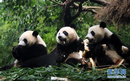 全球唯一存活大熊猫三胞胎断奶