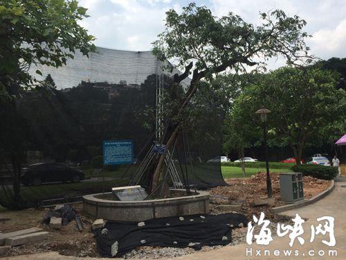 """福州""""雨花台"""" 老荔枝树要移位"""