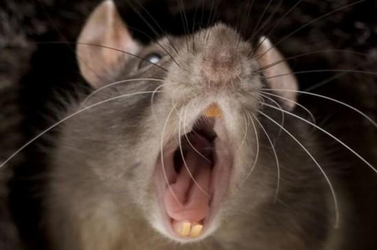 英国爆发2亿老鼠
