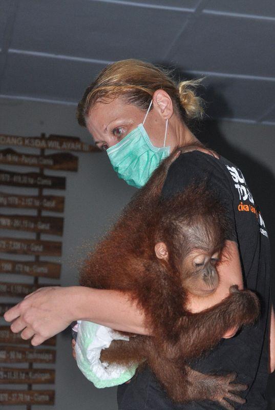 印尼7月大红毛猩猩遭走私后获救