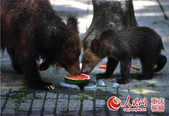 重庆动物园两只黑熊吃冰西瓜避暑.高缘 摄