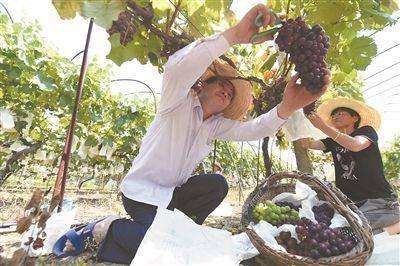 南京江心洲的葡萄熟了 可供200万斤给市民解馋