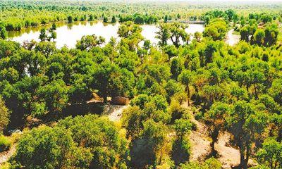 塔里木河流域的胡杨林.新疆维吾尔自治区林业厅供图-新疆 千年胡杨