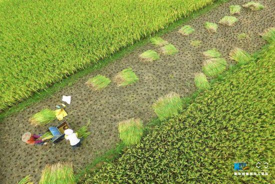 航拍农民收割水稻(组图)
