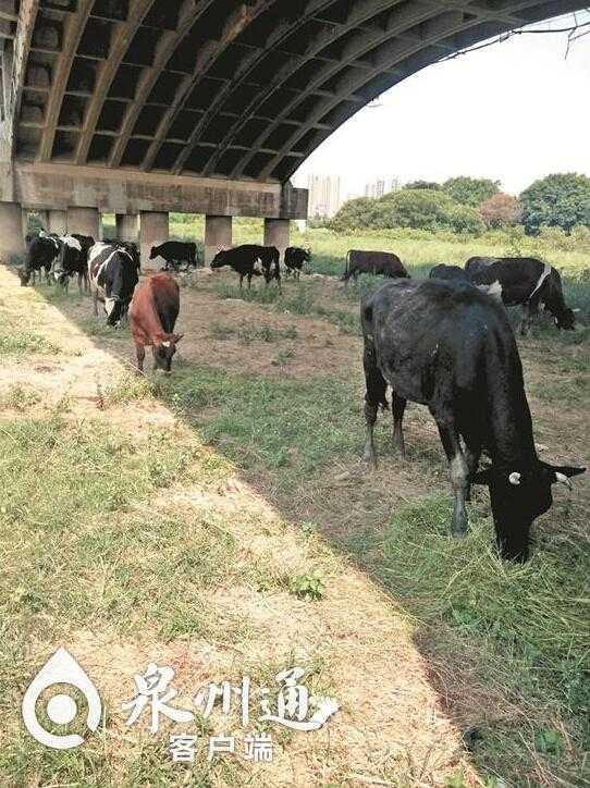 泉州湿地公园成养牛场 还有人用收割机割草喂牛
