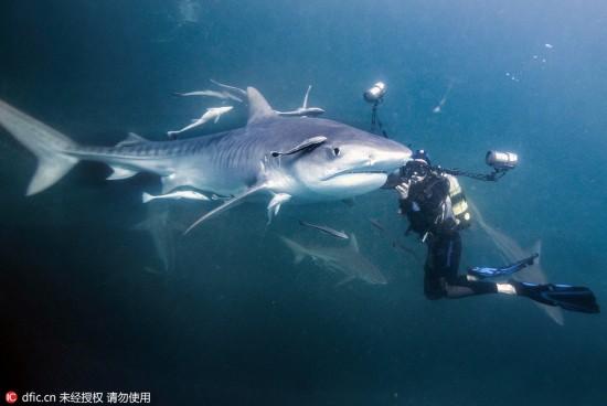 嗨伙計!攝影師潛水與虎鯊面對面相遭遇