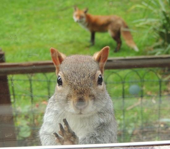 松鼠被狐狸追踪敲窗求助 呆萌可爱