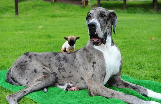 世界上最高狗邂逅英国最小吉娃娃 相处融洽