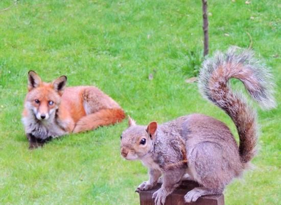 英鬆鼠被狐狸追蹤敲窗求助 呆萌可愛