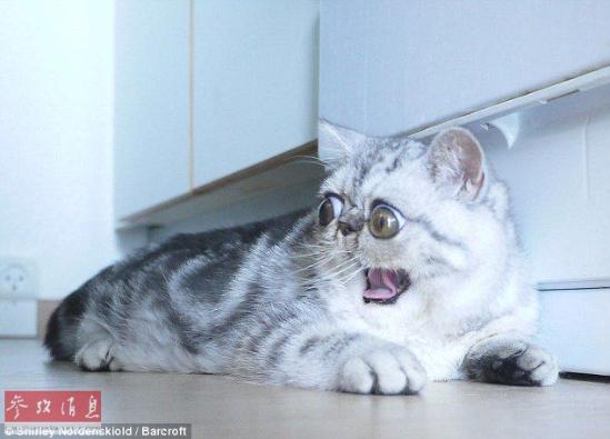 """""""惊吓猫""""走红网络 出生时就有一对特别大的眼睛(组图)"""