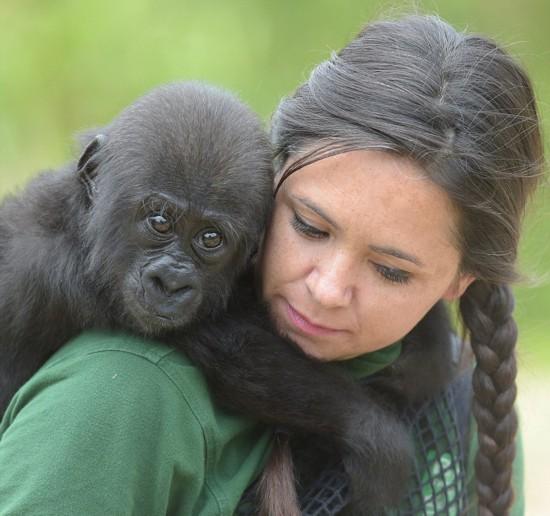 英半岁大猩猩趴饲养员背上神态可爱