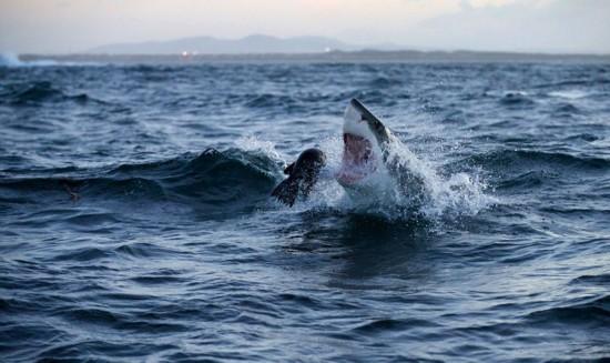 摄影师南非拍大白鲨捕食海豹震撼瞬间