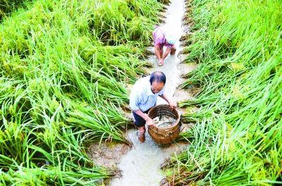 稻鱼种养助脱贫