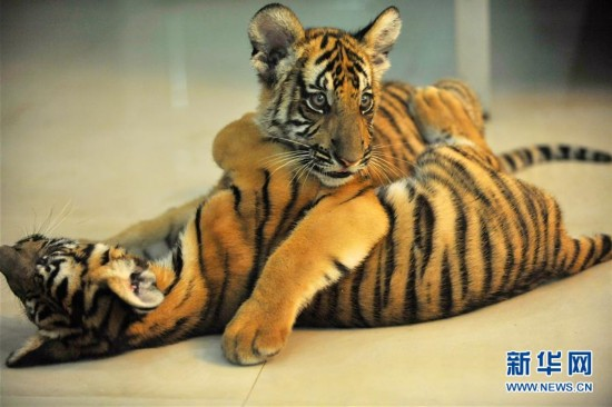 江西南昌动物园新添一对华南虎双胞胎