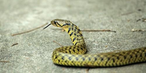 峨眉山180条眼镜蛇幼蛇出逃 还有26条尚未抓住(图)