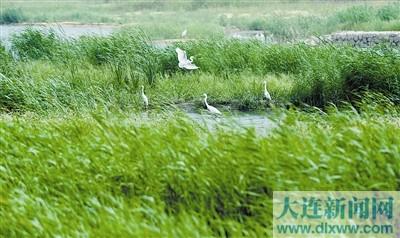 大连湿地鸟飞翔