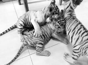 江苏常州淹城野生动物园偷运3只小白虎被查