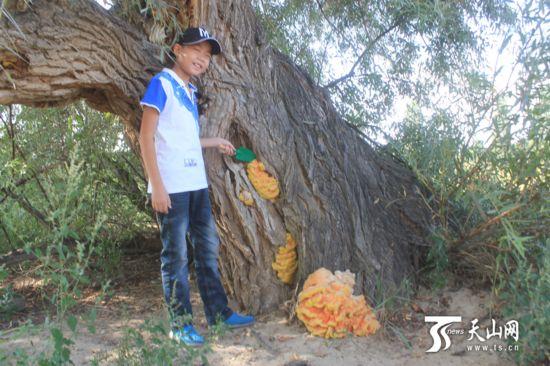 新疆现巨型柳树菇 色泽金黄气味芳香重达5.6千克(组图)