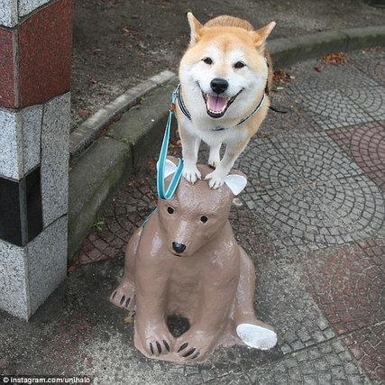 萌翻!日本柴犬荡秋千笑容灿烂