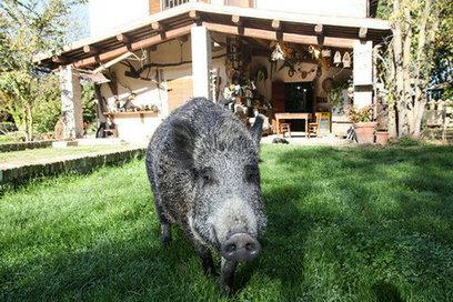 意大利一对夫妻在家养野猪当宠物