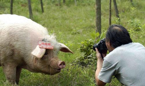 """""""猪坚强"""""""