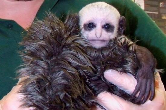 英国一只猴宝宝酷似《哈利波特》中大反派伏地魔走红网络
