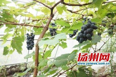 """扬州一葡萄园种植的无籽葡萄""""夏黑"""""""