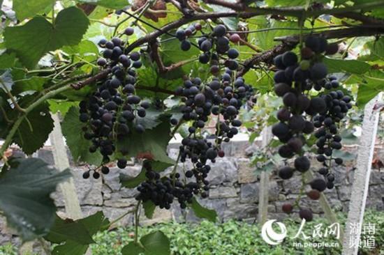 菖蒲塘村的葡萄已经成熟
