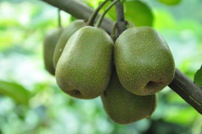成都周边的猕猴桃熟了,采摘鲜果走起来!
