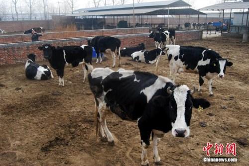 图为奶牛养殖厂。 <a target='_blank'  data-cke-saved-href='http://www.chinanews.com/' href='http://www.chinanews.com/'><p  align=