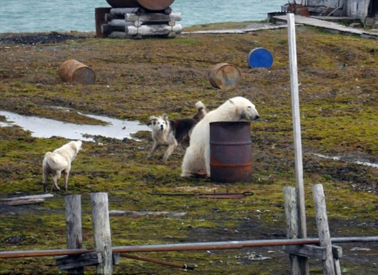 俄5名科学家被12只饥饿北极熊围困 现场照曝光(图)