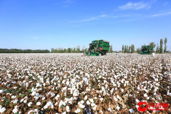八十一团棉花采收工作全面展开(组图)