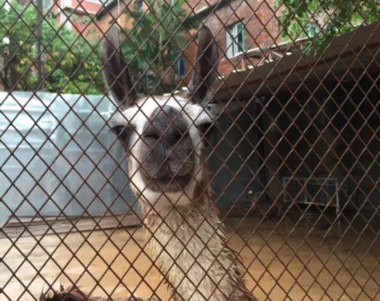 泉州东湖动物园动物泡水泡病了 白老虎眼神哀怨(组图)