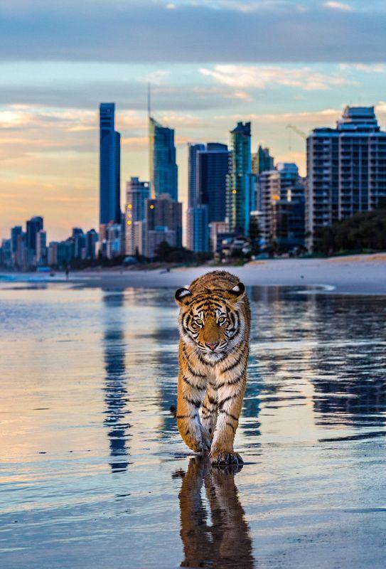 别样画风:澳老虎在黄金海岸悠闲散步