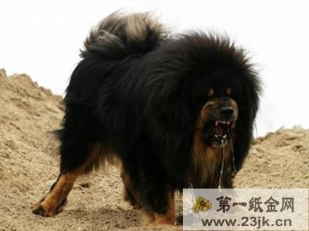 藏獒没吃饱撕咬主人 警方提醒饲养大型犬类应做好防护工作