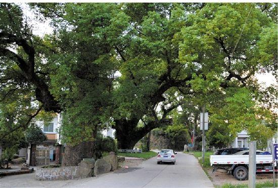 村里多是这样的古树,需要七八个人才能环抱。