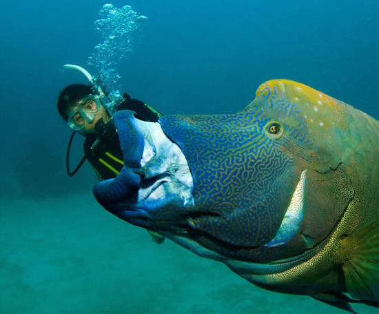 """苏眉鱼在大堡礁海底上演""""大吞活人"""""""